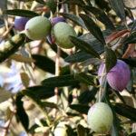 olive-trees