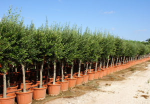 Olive Trees In Pots Copy